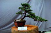 Выращивание карликовых деревьев